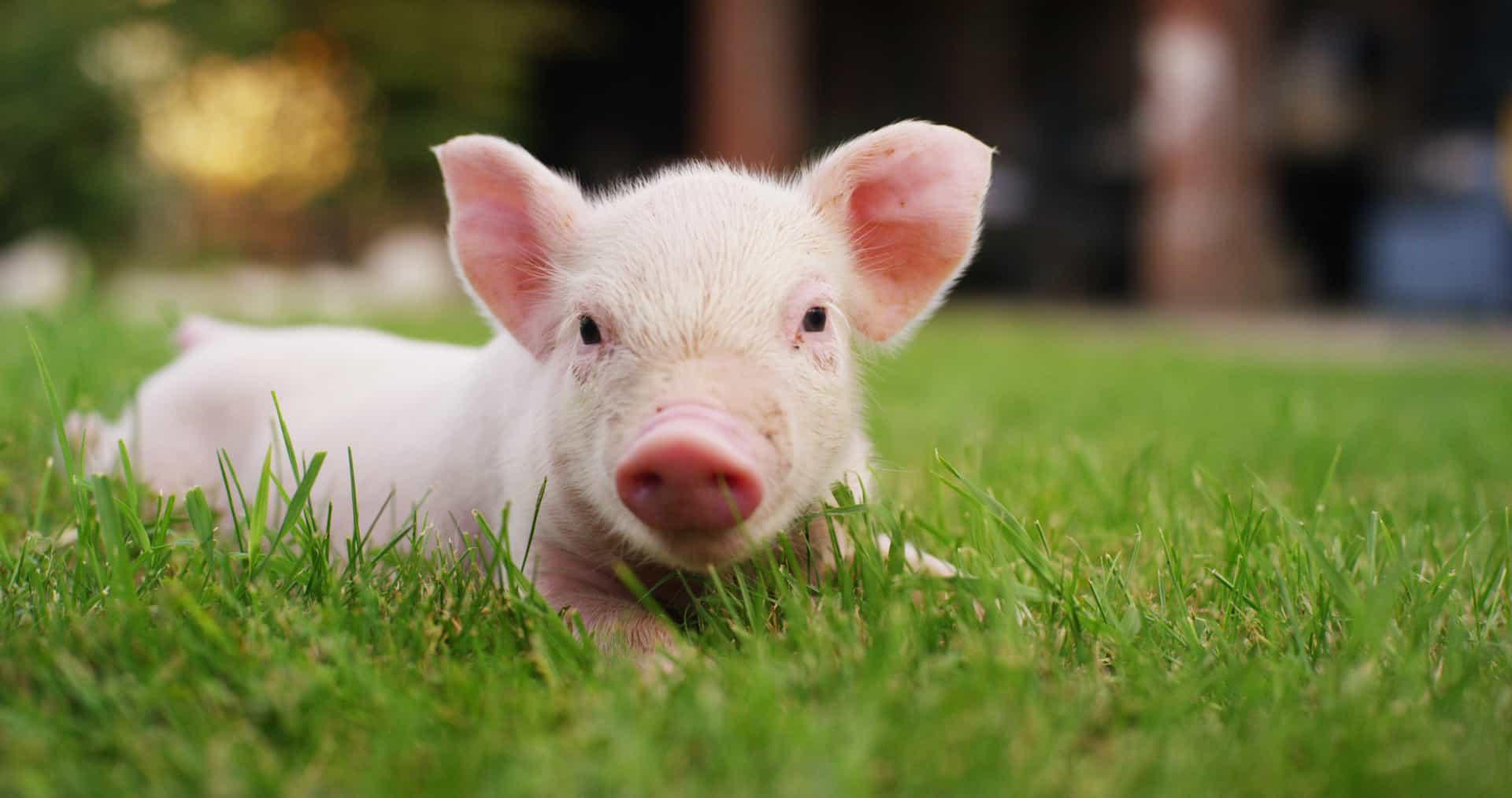 фотообои домашние свиньи знаю чьи